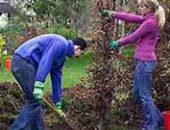 Фото - Живая изгородь из девичьего винограда – как скрыться от пыли и шума