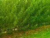 Фото - Живая изгородь из ивы или как вырастить забор своими руками