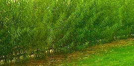 Живая изгородь из ивы или как вырастить забор своими руками?