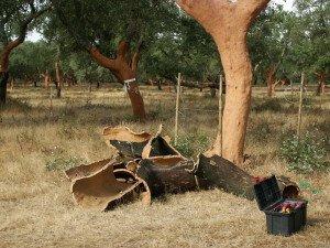 Фото пробкового дерева, zelenopol.net