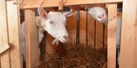Сарай для коз – обустраиваем со всей ответственностью!