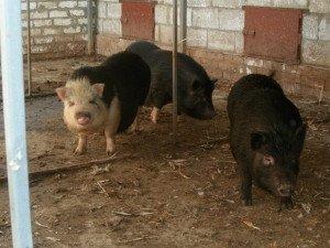 На фото - зимний сарай для свиней, ptica-ru.ru