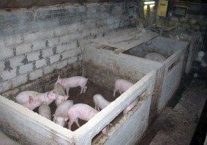 Фото сарая для свиней, djiv.ru