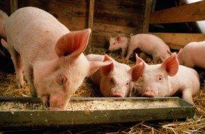 На фото - сарай для выводка свиней, postroy-sam.com