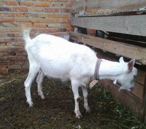 Сарай для коз – вентиляция и прочие второстепенные вещи фото