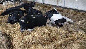 Фото подстилки для коров, farmtec.cz