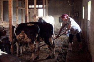 На фото - оборудование сарая для скотины, pravoslavie.ru