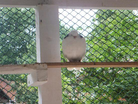 Жёрдочки в голубятне