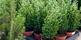 5 комнатных хвойных растений с названиями и фото